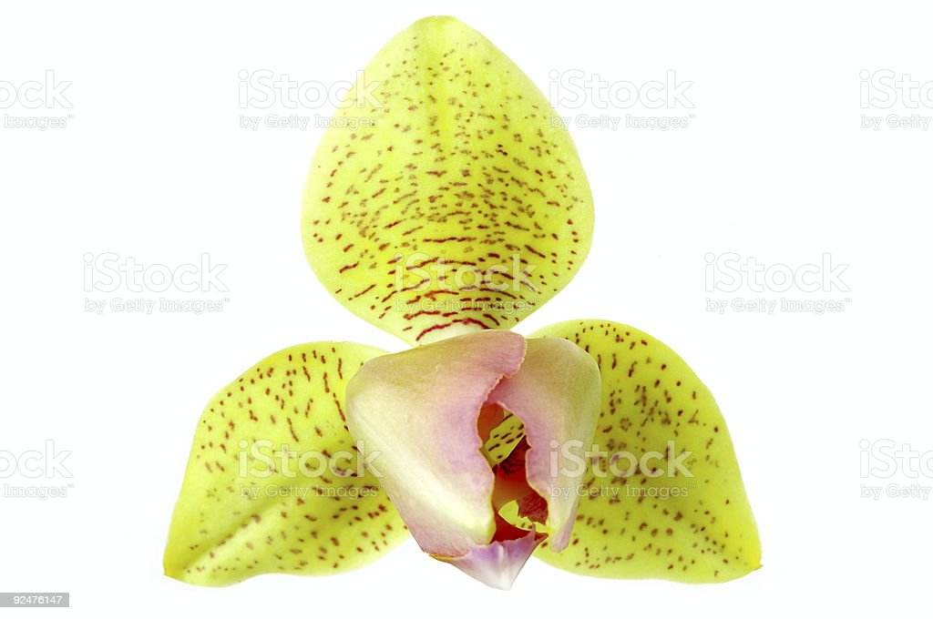 Orchid phalaenopsis royalty-free stock photo
