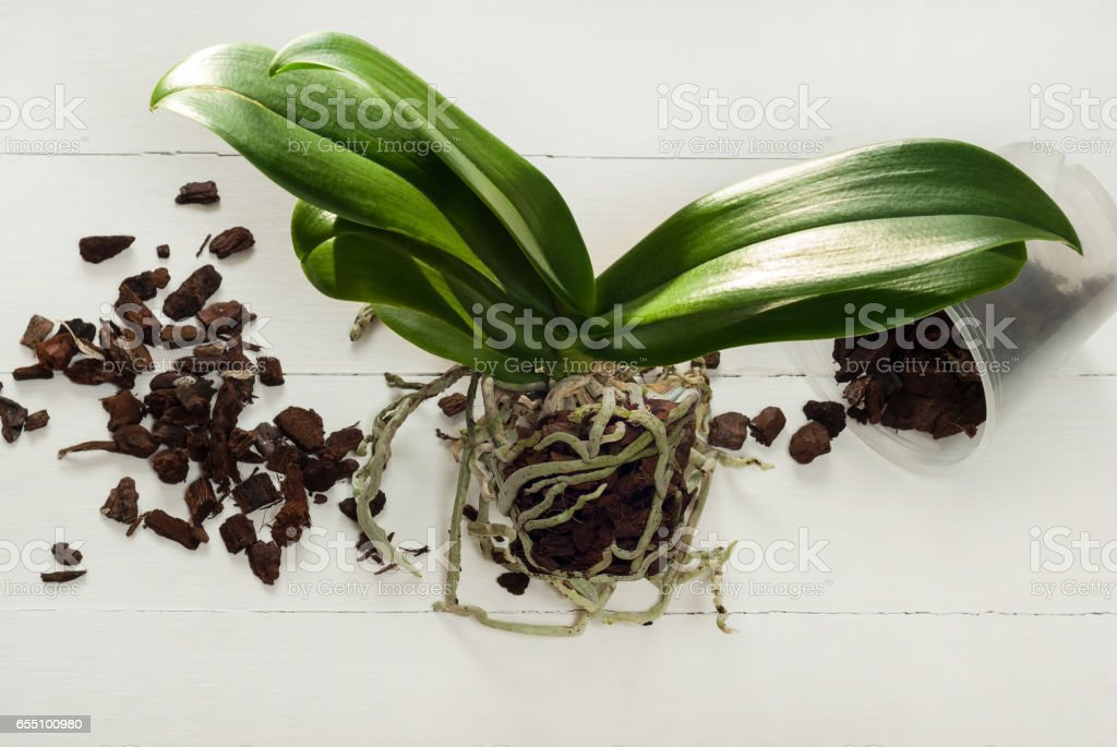 Orchid phalaenopsis planting, soil, root and moss stock photo