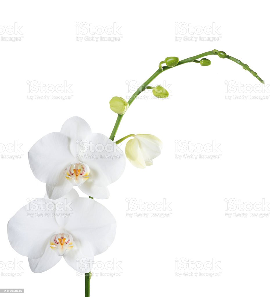 Orchid phalaenopsis white isolated stock photo