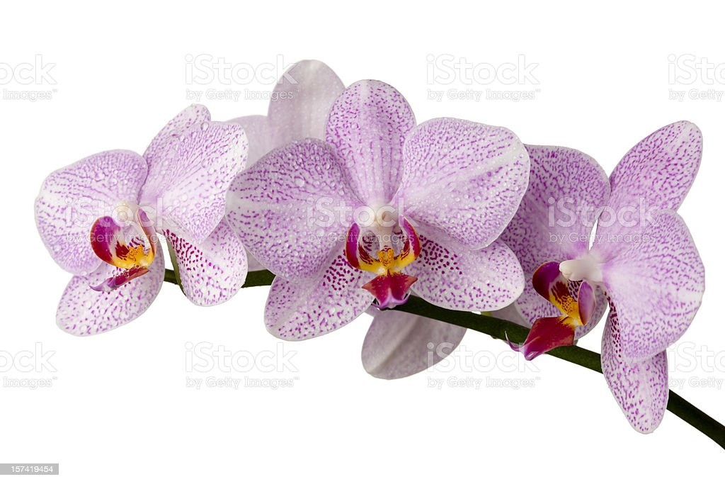 Orchid (Phalaenopsis) royalty-free stock photo