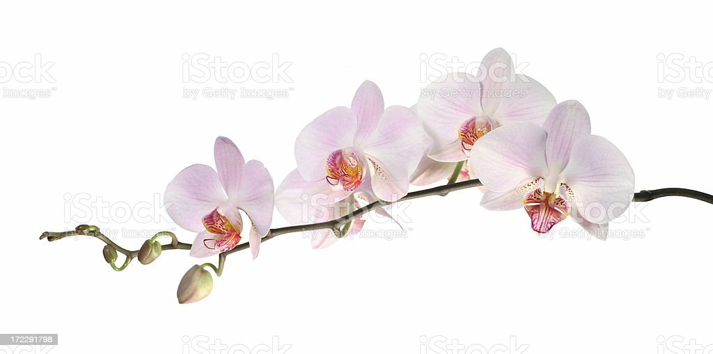 Orchid (isolated on white) royalty-free stock photo