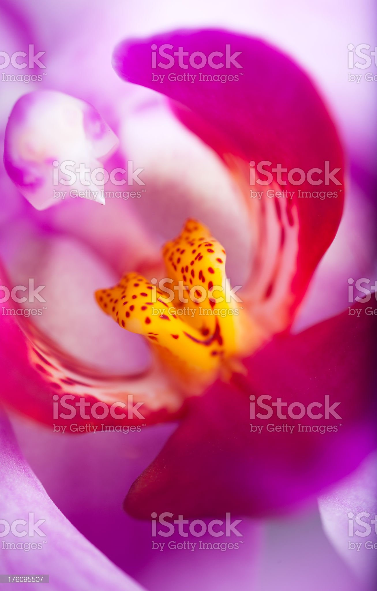 Orchid (Phalaenopsis ) royalty-free stock photo