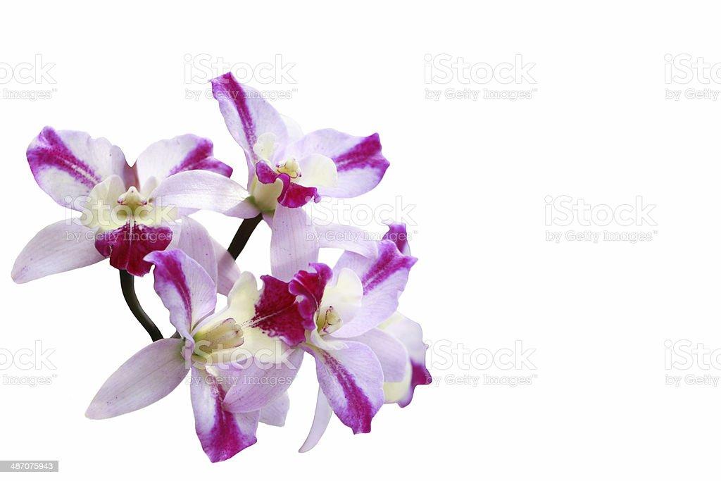 orchid foto de stock libre de derechos