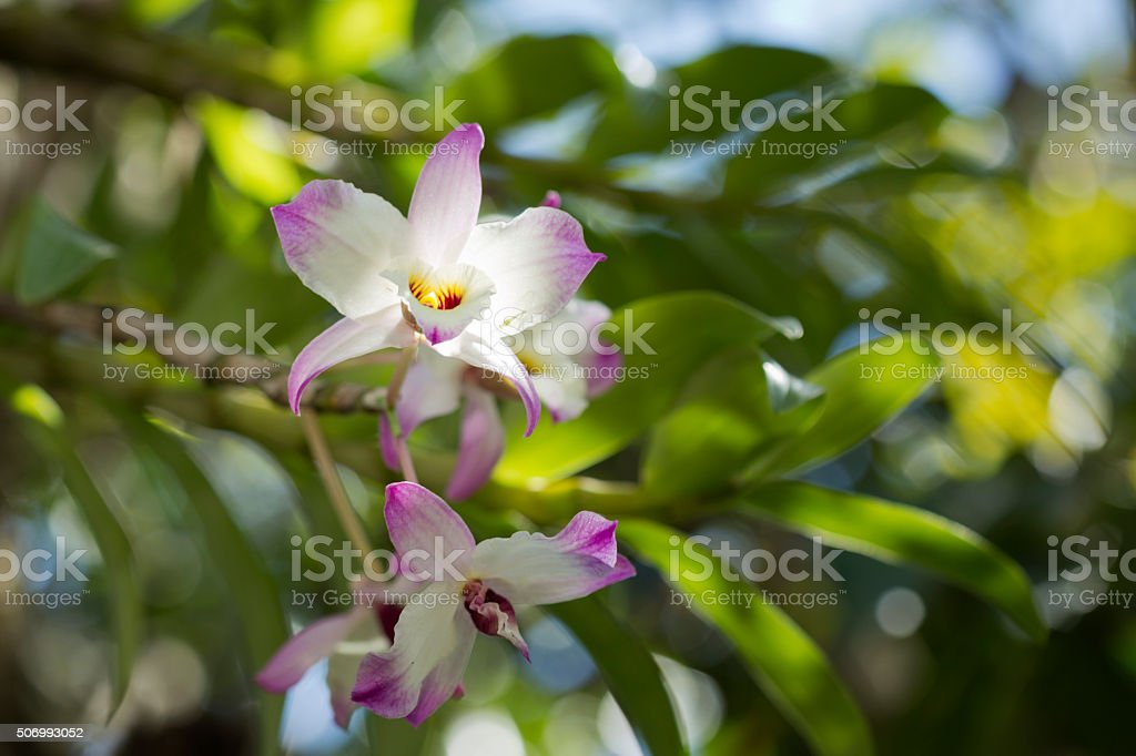Orchid (Dendrobium) stock photo