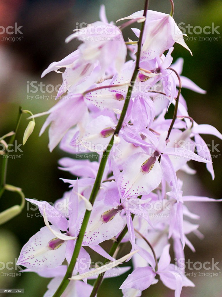 Orchid (Orchidaceae) stock photo