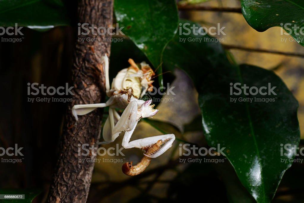 Orchid praying mantis mating stock photo