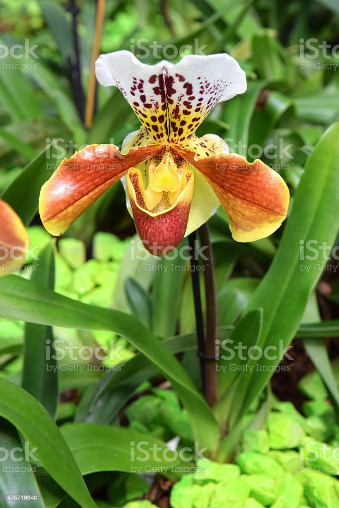 orchid predator stock photo