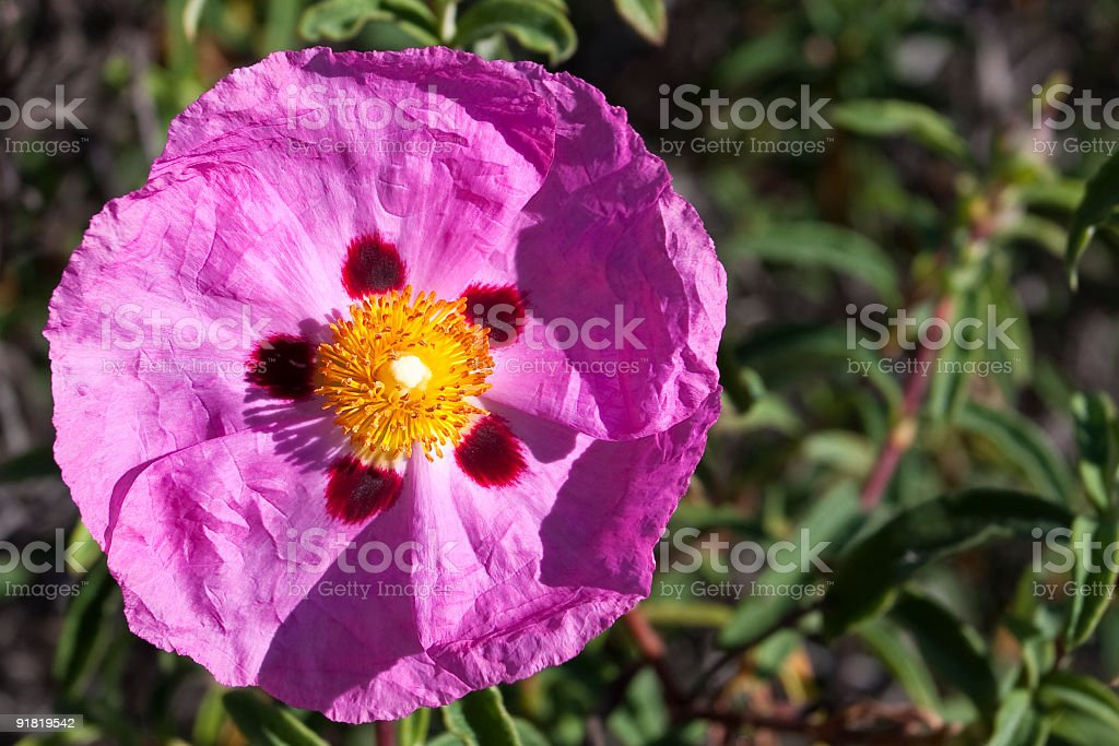 Orchid rockrose royalty-free stock photo