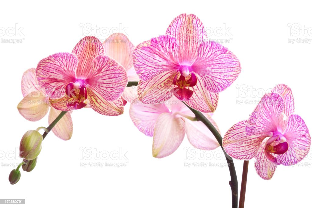 Orchid Series (XL) stock photo