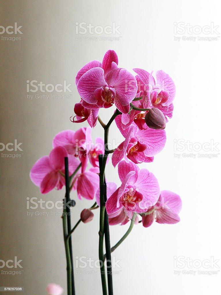 Orchid silk stock photo