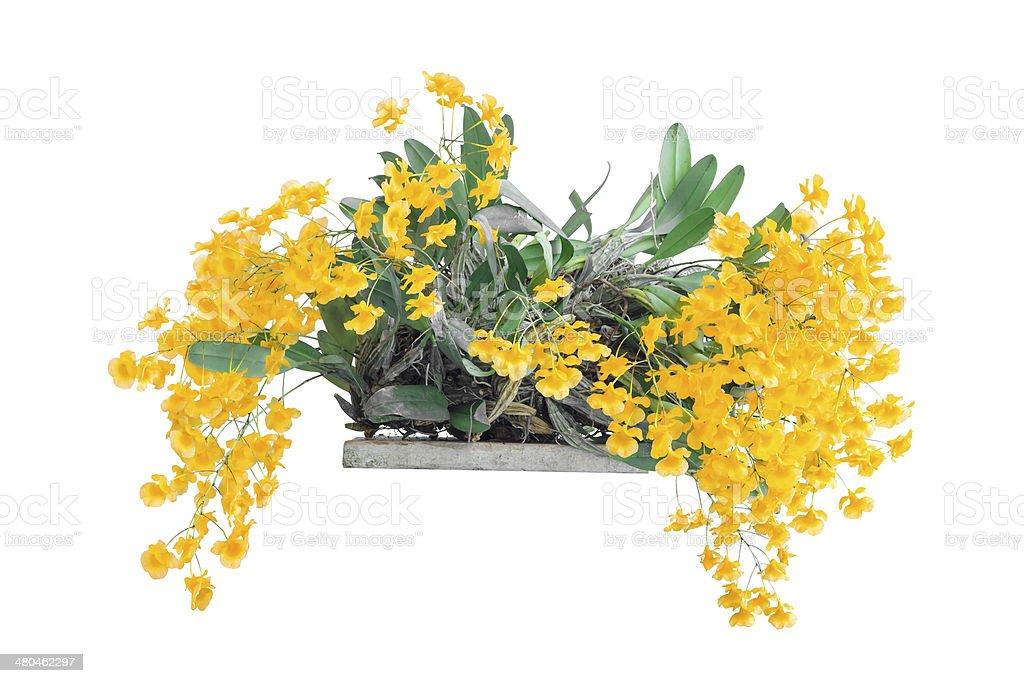 Orchid Species Yellow Orange Dendrobium lindleyi stock photo
