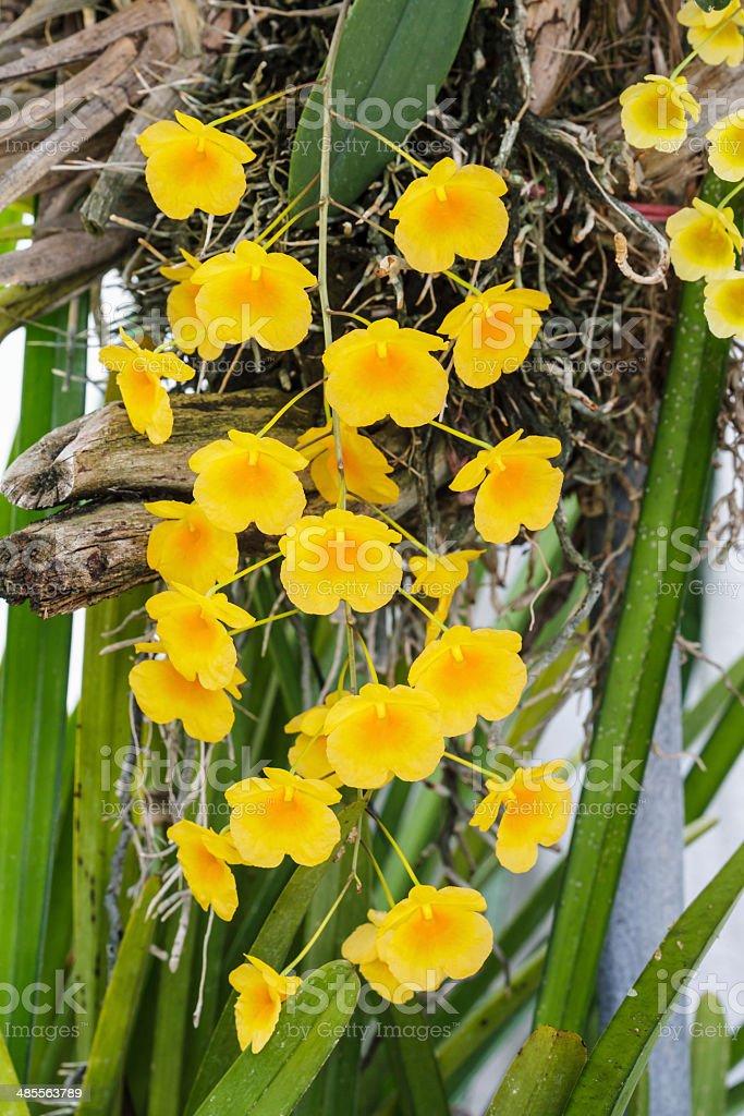 Orchid Species Yellow Orange Dendrobium lindleyi. stock photo