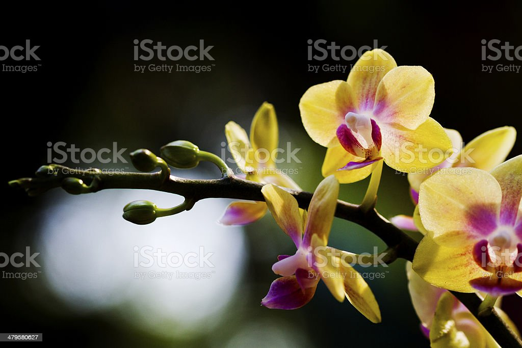 Orchid with Bokeh royalty-free stock photo