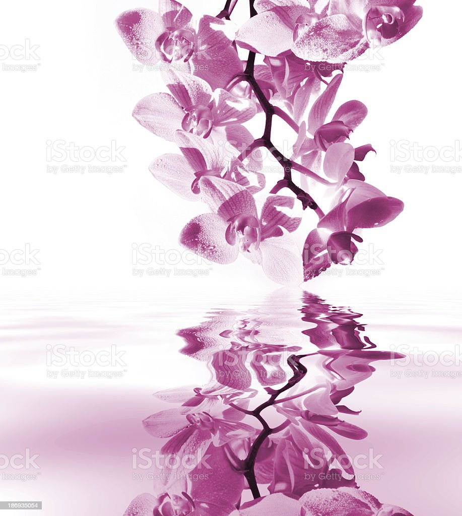 Orchid with mirroring royalty-free stock photo