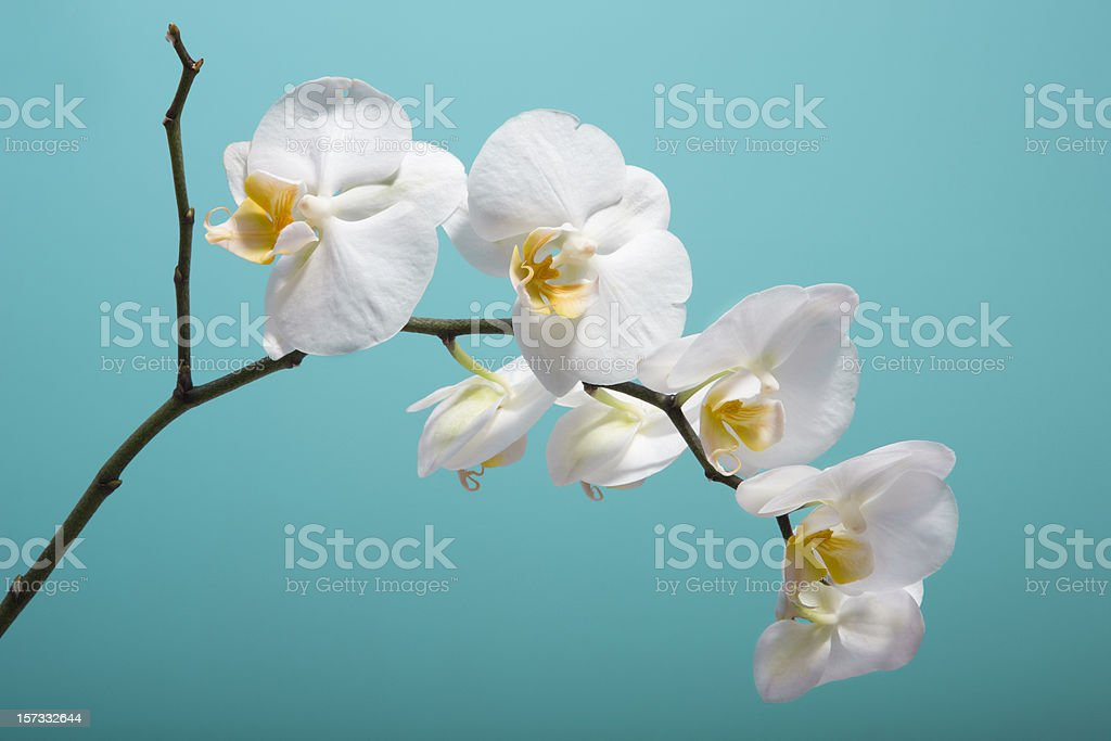 orchid XXL stock photo