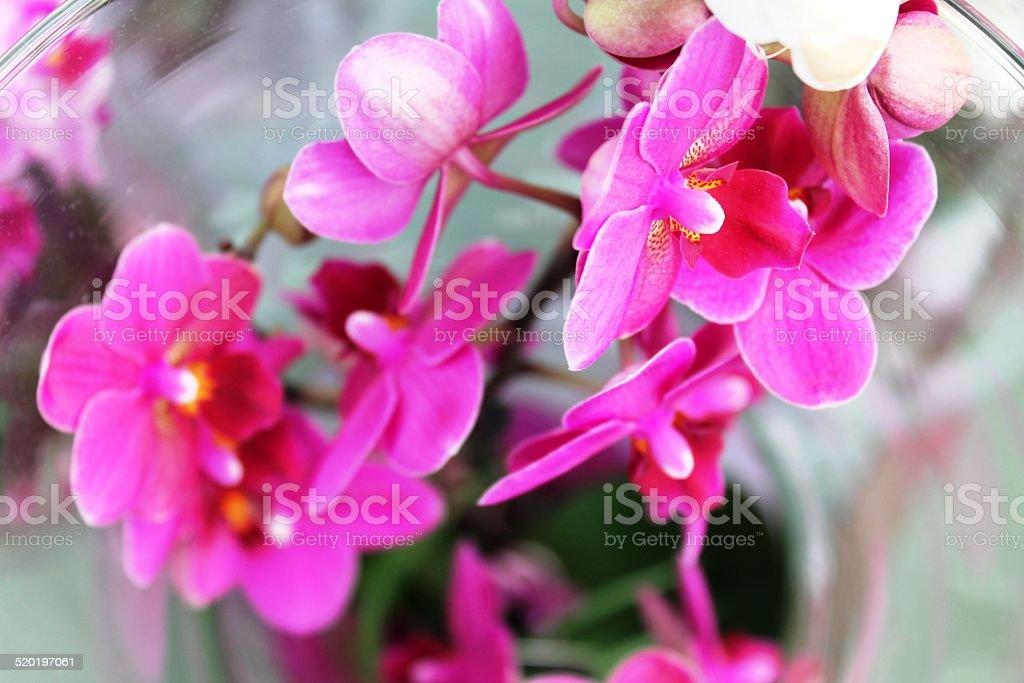 orchidee fucsia dall'alto stock photo