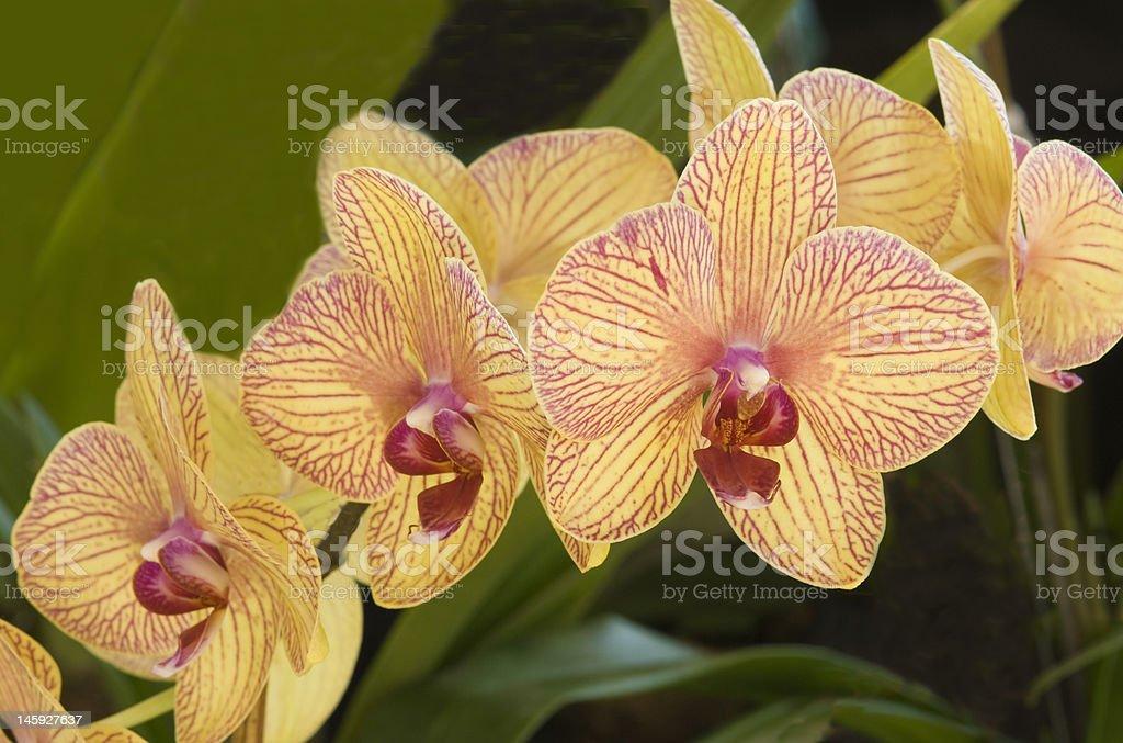 Orchid-Phalaenopsis Golden treasure royalty-free stock photo