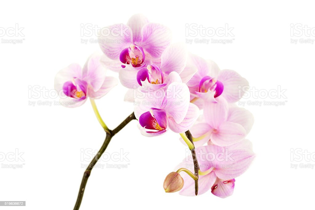 Orchids against white background stock photo