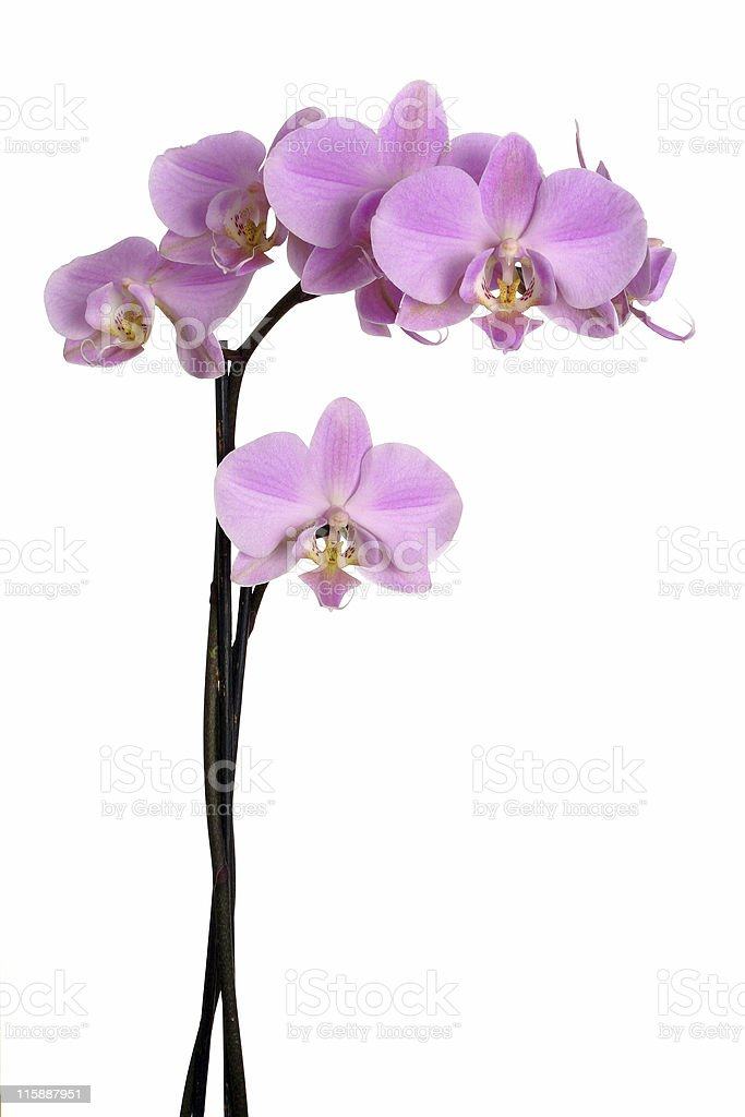 Orchid's branch royalty-free stock photo