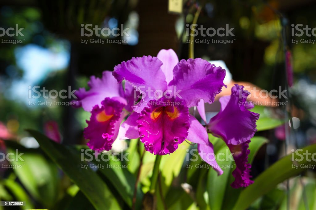 orchids Cattleya - close up stock photo