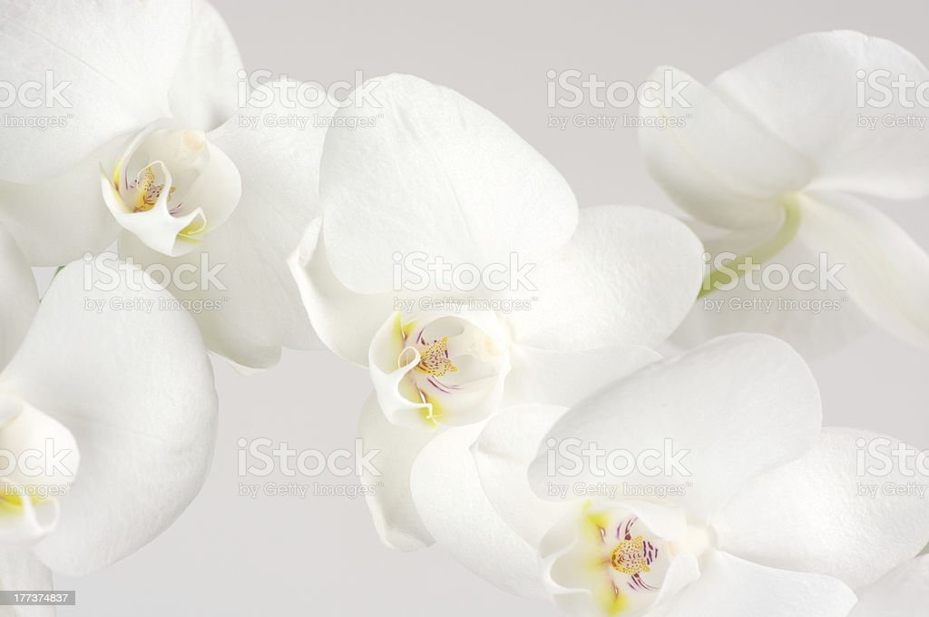 Orchids close-up royalty-free stock photo