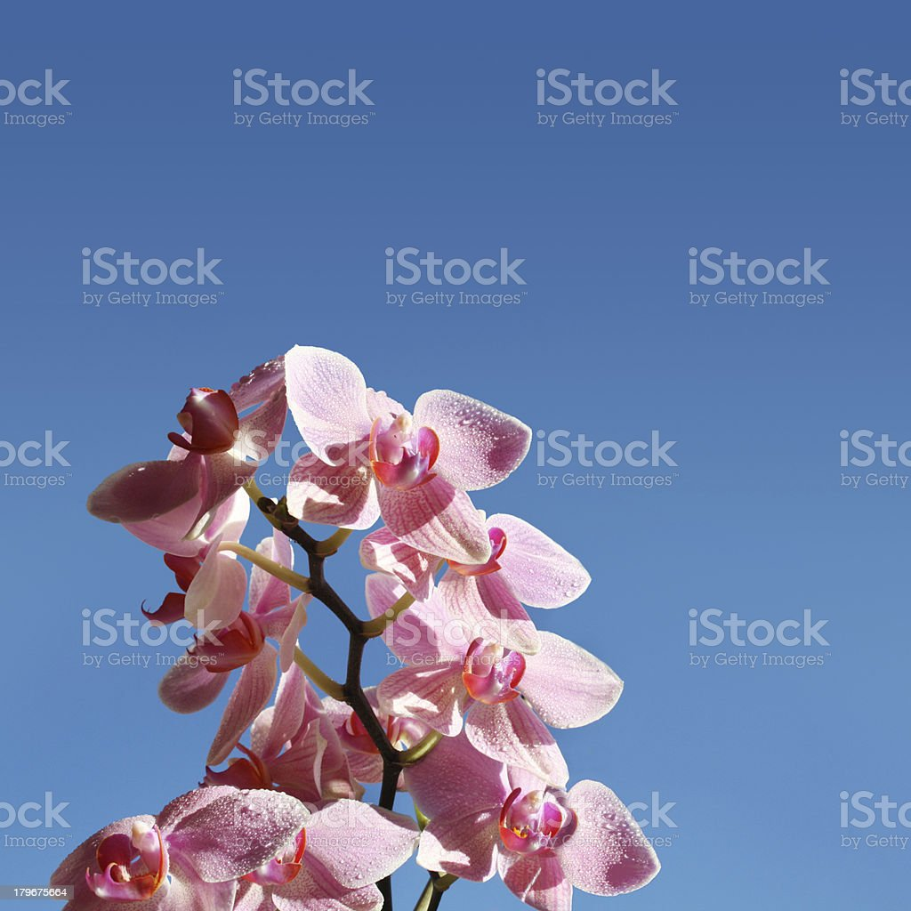 Orchids in the sky royalty-free stock photo