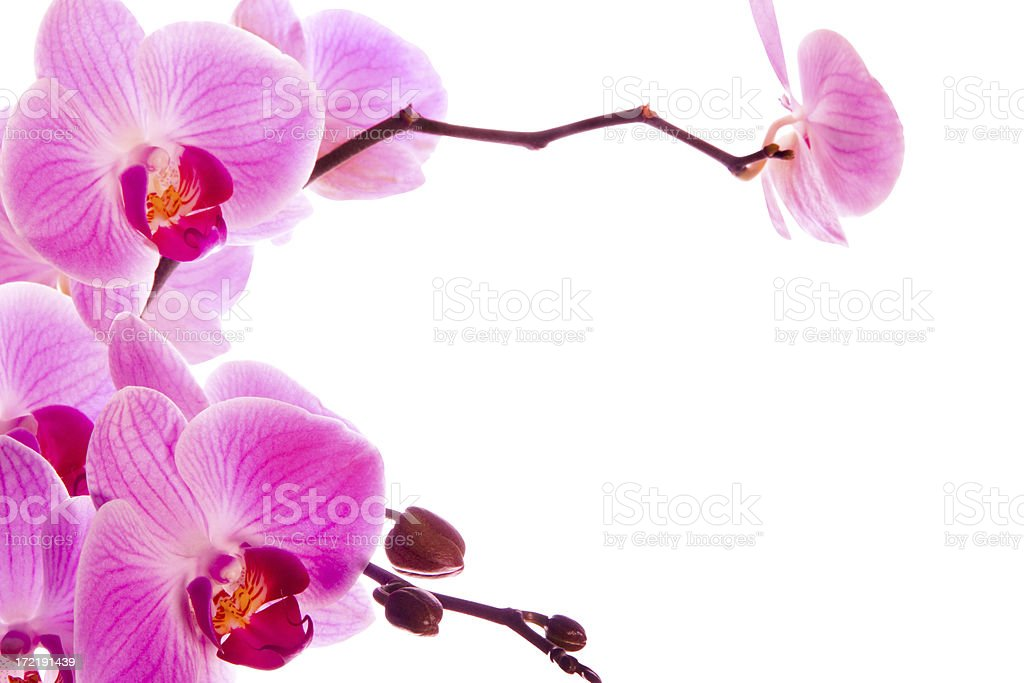 Orchids isolated on white with clipping path and copy space royalty-free stock photo