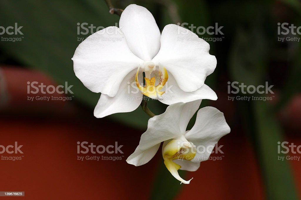 Orchids MS02 royalty-free stock photo