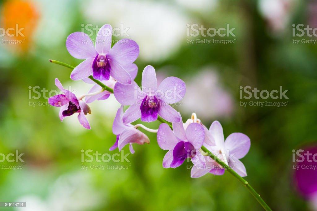 Orchids Of Sri Lanka stock photo