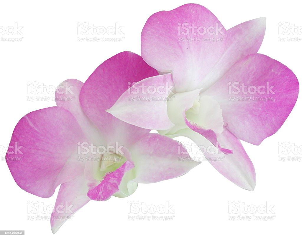 Orchids - Pink royalty-free stock photo