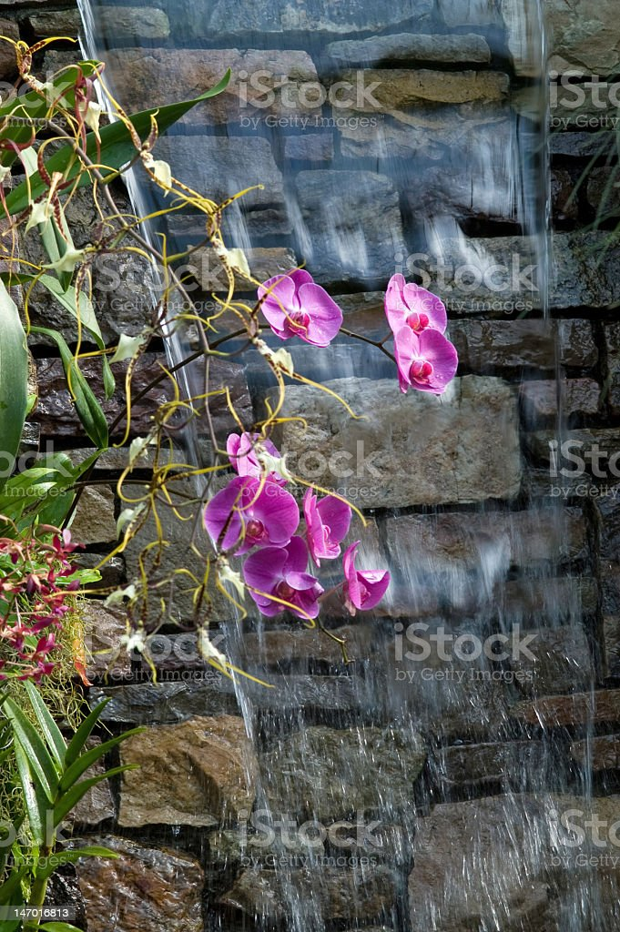 Orchids Under Cascading Water royalty-free stock photo