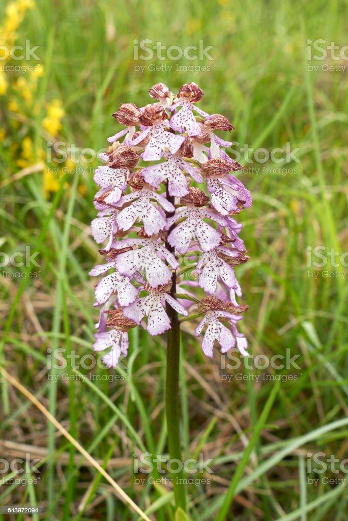 Orchis purpurea stock photo