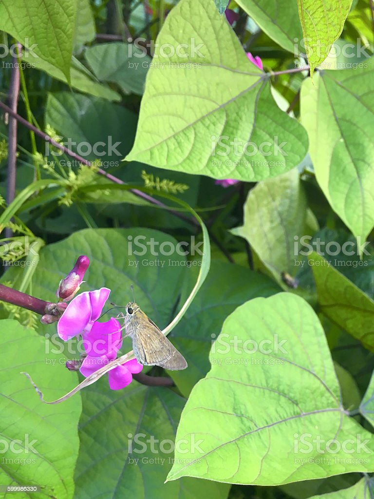 ordinary Chinese butterfly stock photo