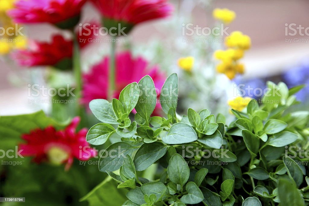 Oregano and Flowers in Garden royalty-free stock photo