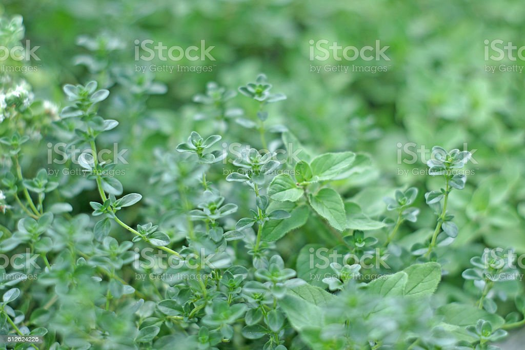 Oregano and thyme background stock photo