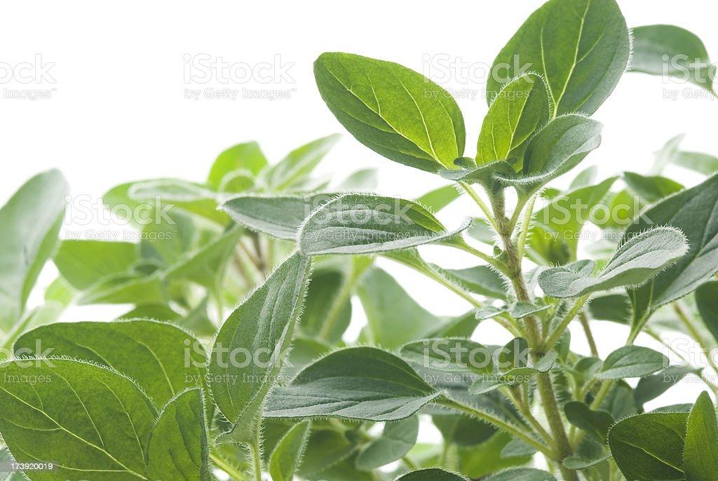 Oregano (Origanum) culinary herb - I royalty-free stock photo