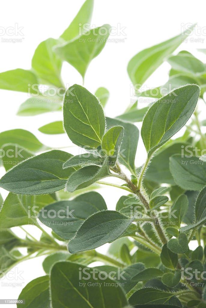 Oregano (Origanum) culinary herb - II royalty-free stock photo