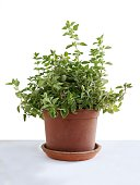 oregano herb as potted plant in a kitchen