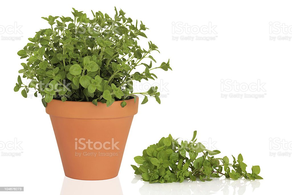 Oregano Herb royalty-free stock photo