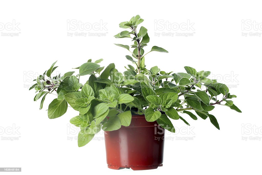 Oregano herb plant growing in the pot royalty-free stock photo