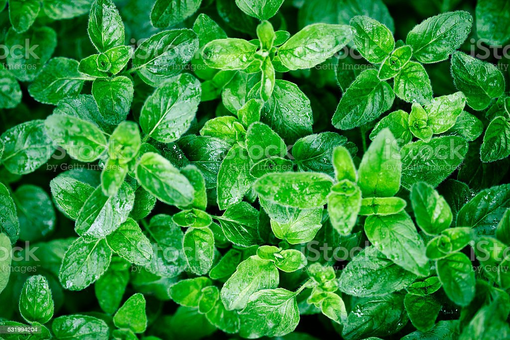 oregano leaves in garden after rain stock photo