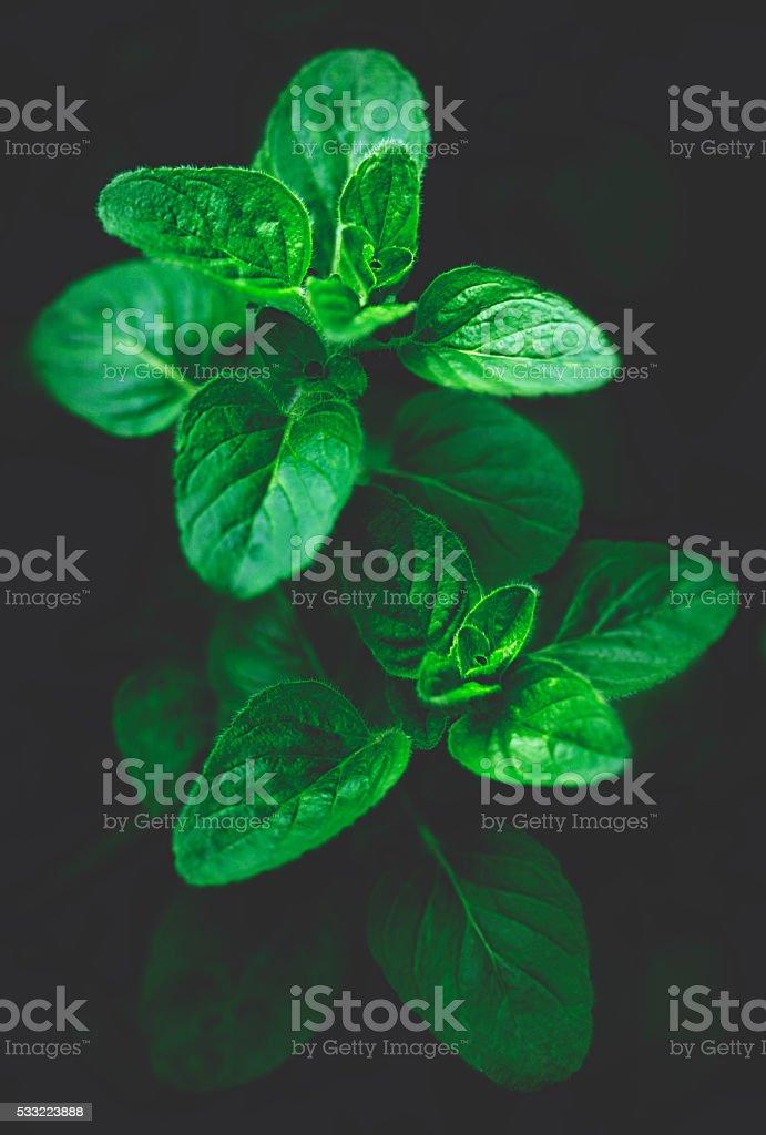 oregano leaves in garden stock photo