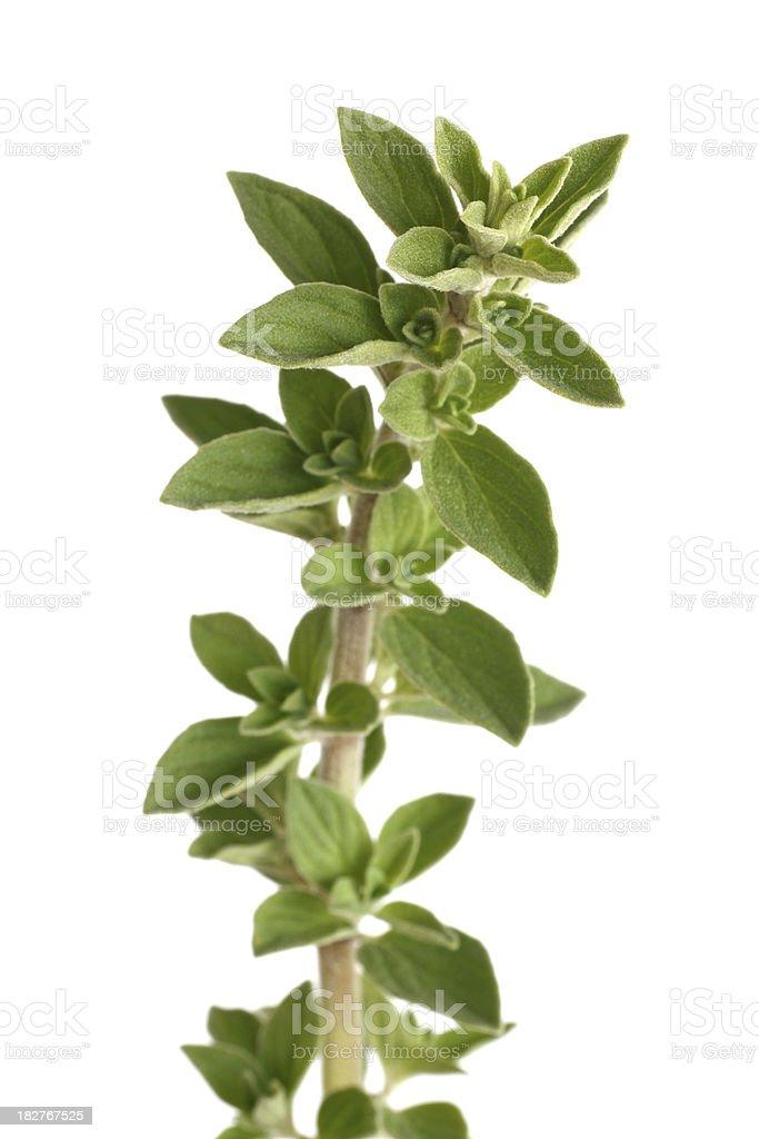 oregano or marjoram isolated on white royalty-free stock photo