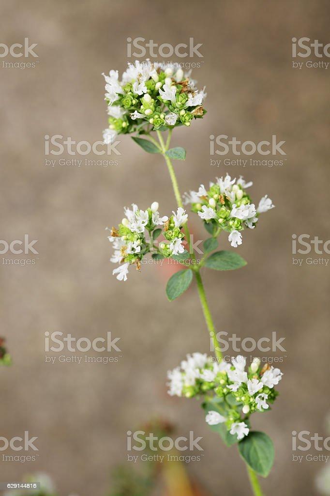 Oregano, Origanum vulgare stock photo