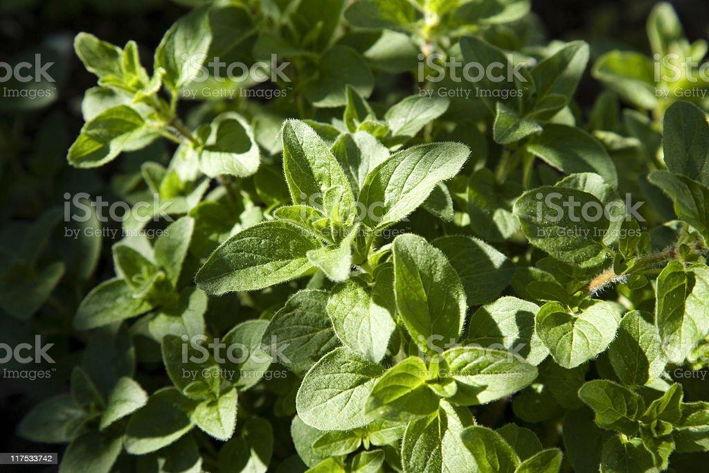 Oregano (Origanum vulgare) royalty-free stock photo