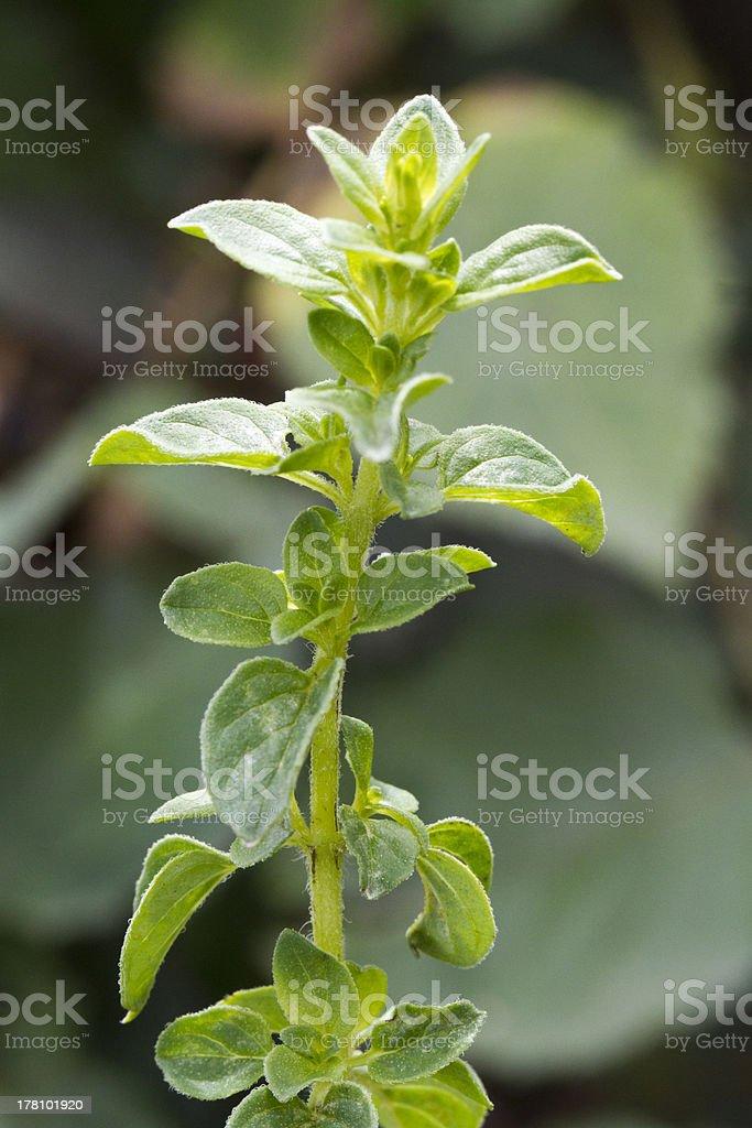 Oregano (origanum vulgare) stock photo