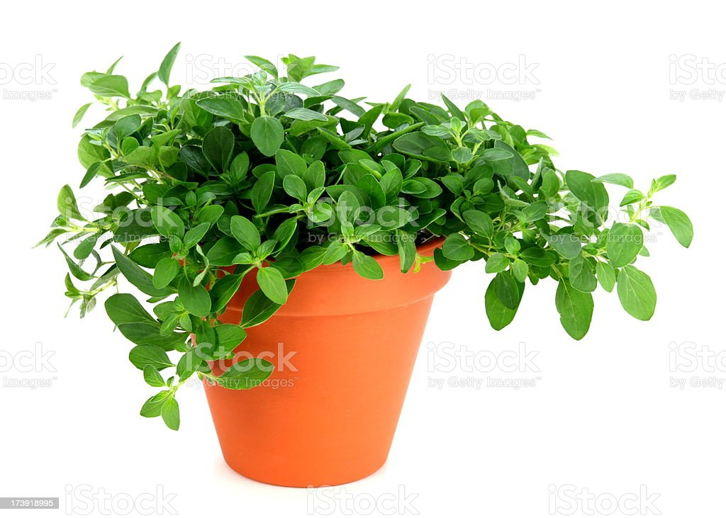 Oregano Plant royalty-free stock photo