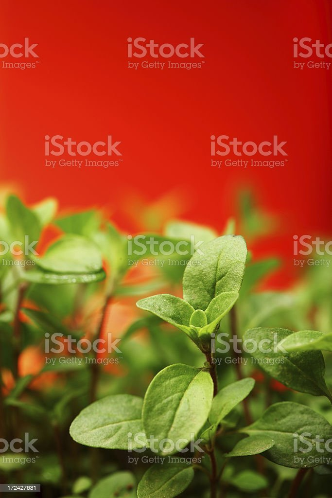 Oregano Seedlings in Pot royalty-free stock photo