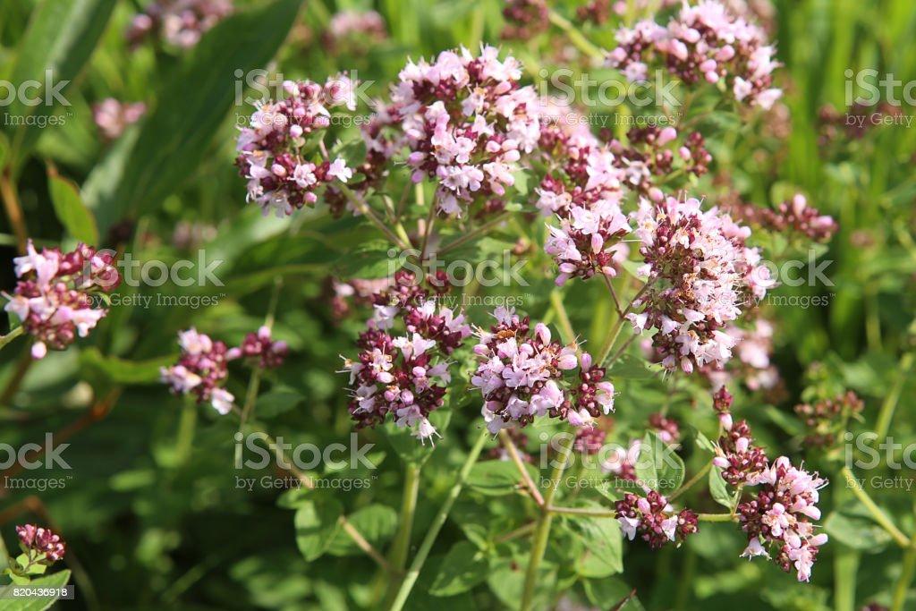 Oregano: spice and  herb. stock photo