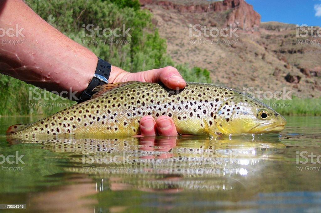 Oregon brown trout stock photo
